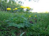Obr. 5 - žlutě kvetoucí úpolín nejvyšší ()