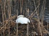 Labutě jsou symbolem lásky a věrnosti, i když dnes Novák posmutněl deštěm, pár bílých krasavic se dál pečlivě staral o své hnízdo (3)