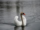 Labutě jsou symbolem lásky a věrnosti, i když dnes Novák posmutněl deštěm, pár bílých krasavic se dál pečlivě staral o své hnízdo (4)