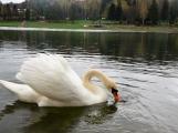 Labutě jsou symbolem lásky a věrnosti, i když dnes Novák posmutněl deštěm, pár bílých krasavic se dál pečlivě staral o své hnízdo (6)