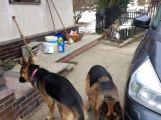 U Milína se našli dva němečtí ovčáci. Už jsou u majitele (1)