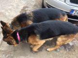 U Milína se našli dva němečtí ovčáci. Už jsou u majitele (2)