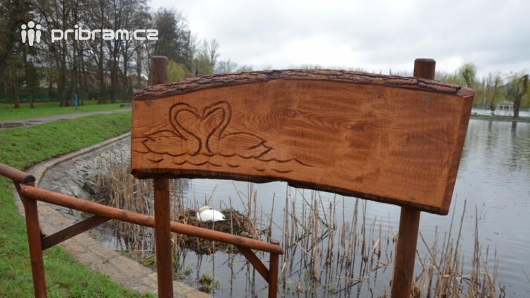 Labutě jsou symbolem lásky a věrnosti, i když dnes Novák posmutněl deštěm, pár bílých krasavic se dál pečlivě staral o své hnízdo