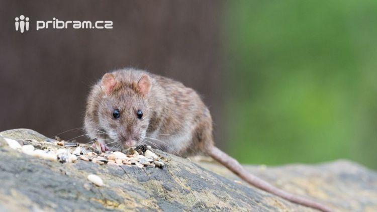 Přemnožení potkani u Hořejší Obory