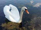 Za necelý měsíc se již na Nováku setkáme s labutí drobotinou
