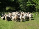 Pasáčci přehnali stádo z Českého krasu do Brd