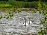Už se vám stýskalo po labutí rodince?