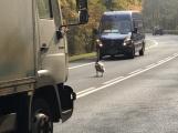 V Milínské se na vozovce objevila živá překážka