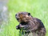 V CHKO Brdy byly zaznamenány první stopy po bobru evropském
