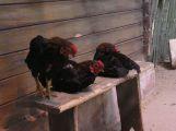 Ohnisko výskytu ptačí chřipky ve středních Čechách bylo zlikvidováno