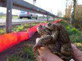S jarem začínají migrovat žáby, stavění žabích přechodů je v plném proudu