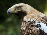 Orel královský hnízdí v Česku 20 let: Klenoty mezi našimi dravci ale ohrožují jejich vlastní chatrná hnízda a nově i traviči