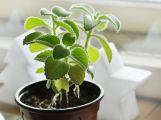 Zázračná rostlina rýmovník pomáhá nejen při nachlazení