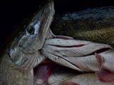 Dolejší Padrťský rybník byl pod útokem rybářů (33)