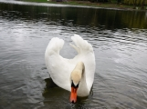 Labutě jsou symbolem lásky a věrnosti, i když dnes Novák posmutněl deštěm, pár bílých krasavic se dál pečlivě staral o své hnízdo (5)
