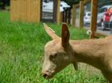 Minizoo obydlena! Ovce a kůzlata si zvykají na nové prostředí ()