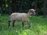 Minizoo obydlena! Ovce a kůzlata si zvykají na nové prostředí (8)