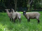 Minizoo obydlena! Ovce a kůzlata si zvykají na nové prostředí (7)