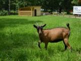 Minizoo obydlena! Ovce a kůzlata si zvykají na nové prostředí (5)
