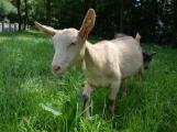 Minizoo obydlena! Ovce a kůzlata si zvykají na nové prostředí (4)