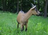 Minizoo obydlena! Ovce a kůzlata si zvykají na nové prostředí (3)