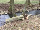V lesoparku začalo kácení nebezpečných stromů ()