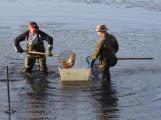 V Novém rybníce plavalo zhruba 7 metráků lína obecného (22)