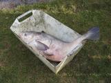V Novém rybníce plavalo zhruba 7 metráků lína obecného (15)