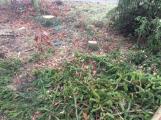 Les na Červené se mění. Jehličnaté stromy nahradí buky a duby (3)