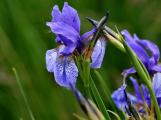 kosatec sibiřský (Iris sibirica). (15)