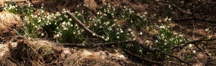 Porost bledule jarní v jižních Brdech