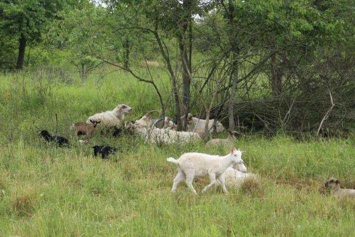 V úterý ráno se stádo vydalo na skoro třicet …