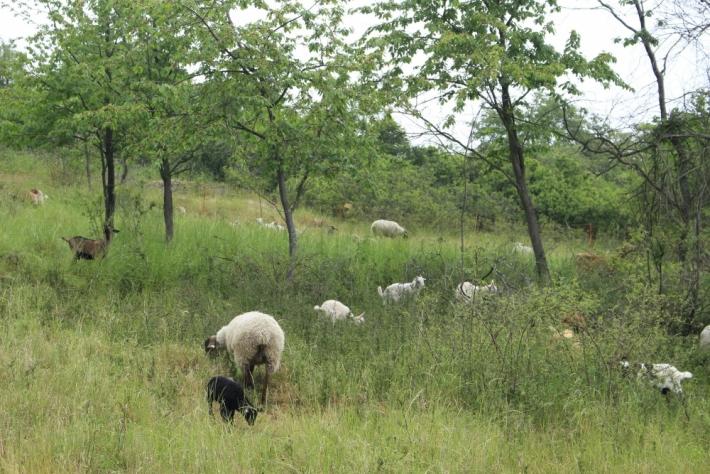 Ovce a kozy vBrdech zůstanou až do …