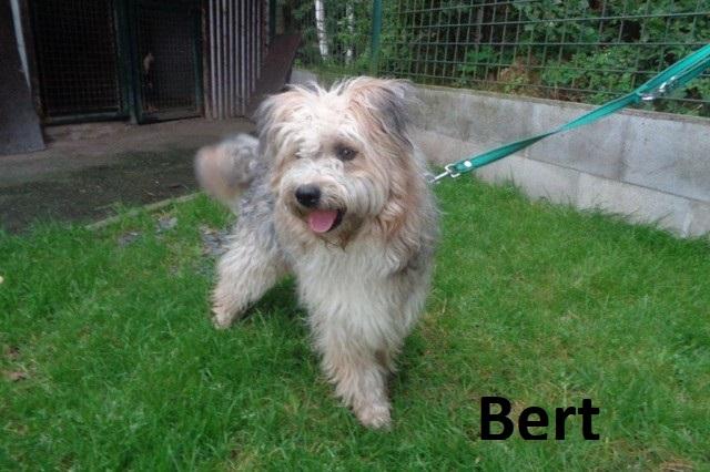 Berta, zhruba dvouletého křížence bobtaila, …