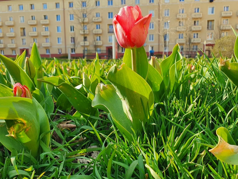 Záhony narcisů a tulipánů začínají lemovat …