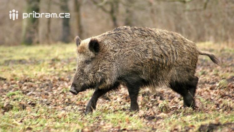 Při honu na divoká prasata došlo ke střelnému poranění myslivce