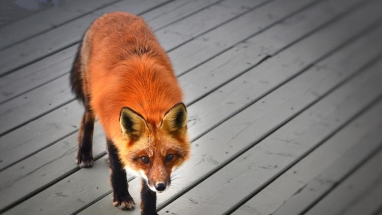 Liška se díky zlodějům pomoci zatím nedočkala
