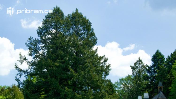 V Brdech byl vyhlášen další památný strom