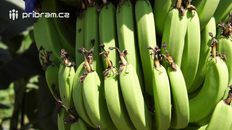 V zásilce banánů přicestoval do příbramského Tesca exotický pavouk