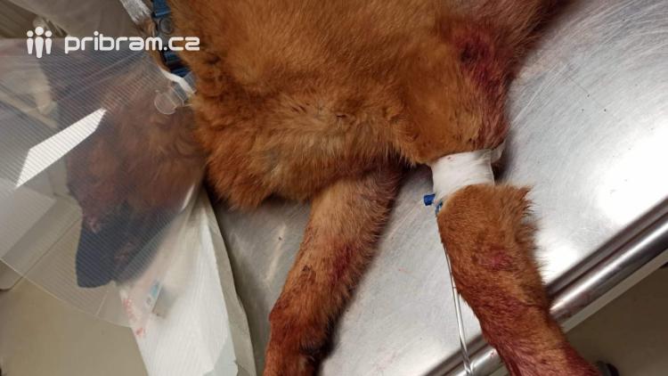 Fenka německého ovčáka doplatila na výbuch petardy. Proskočila zavřeným oknem