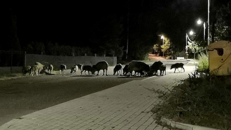 V ulicích města běhají divoká prasata, lidé mají strach