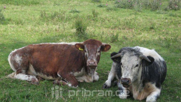 Veterináři odhalili na Příbramsku nelegálního prodejce masa