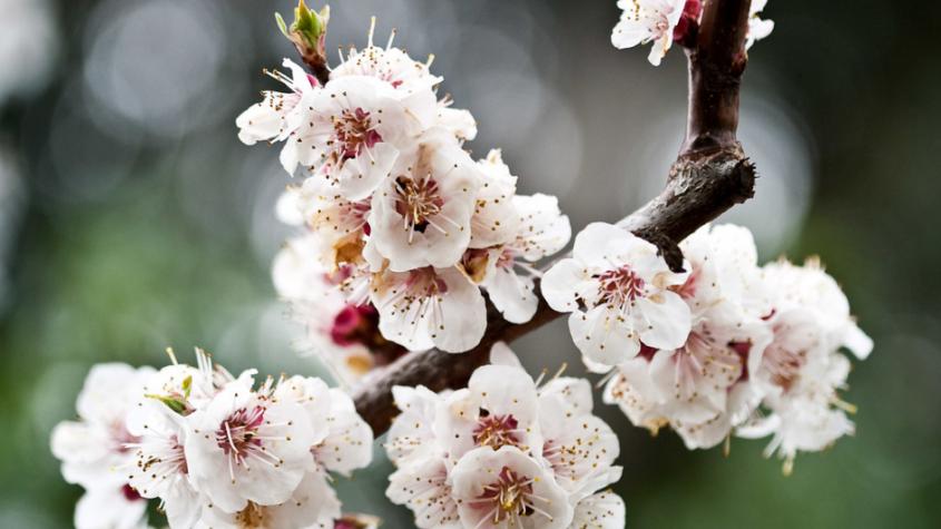 V týdnu bude v noci mrznout, mráz může poškodit kvetoucí stromy