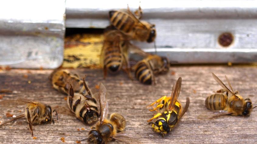Černá můra včelařů je tady: Na Příbramsku byl zaznamenán výskyt včelího moru