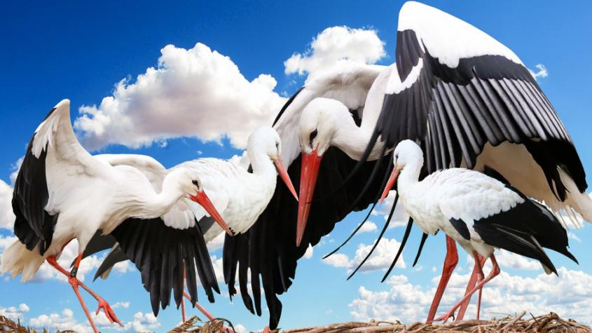 Ornitologové vyzvali veřejnost, aby jim pomohla zkontrolovat hnízda čápů a sečíst mláďata
