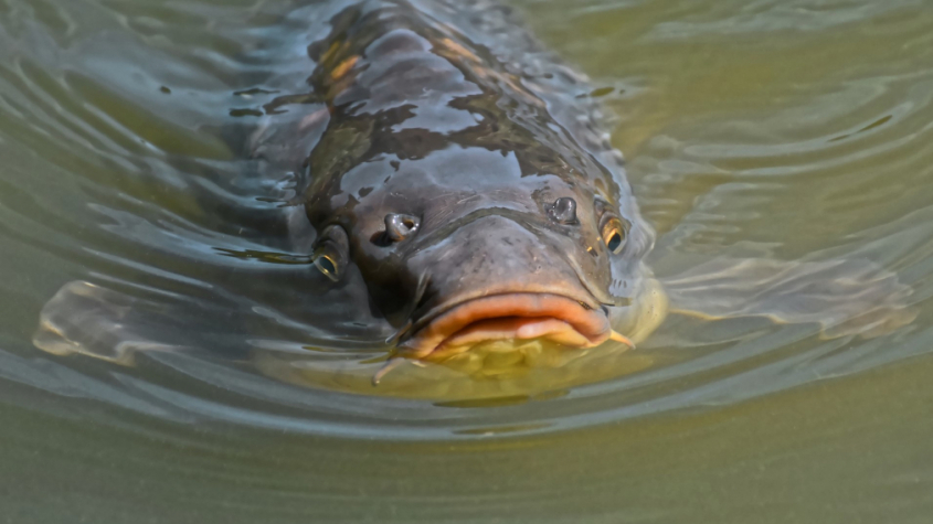 Produkce ryb v Česku loni meziročně klesla o 3,5 procenta na 20.986 tun