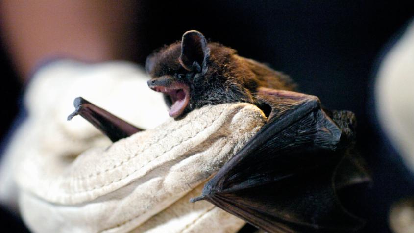 Tajuplný život netopýrů zblízka v Příbrami