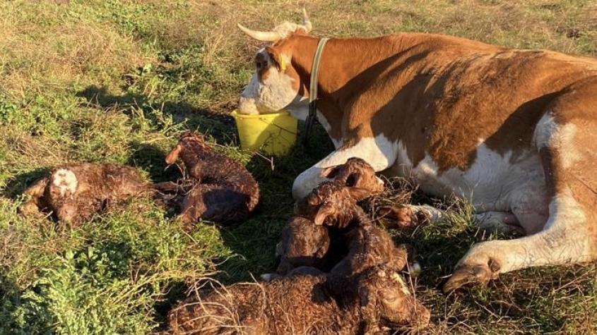 Světová rarita na Příbramsku: Krávě se na ekofarmě narodila paterčata