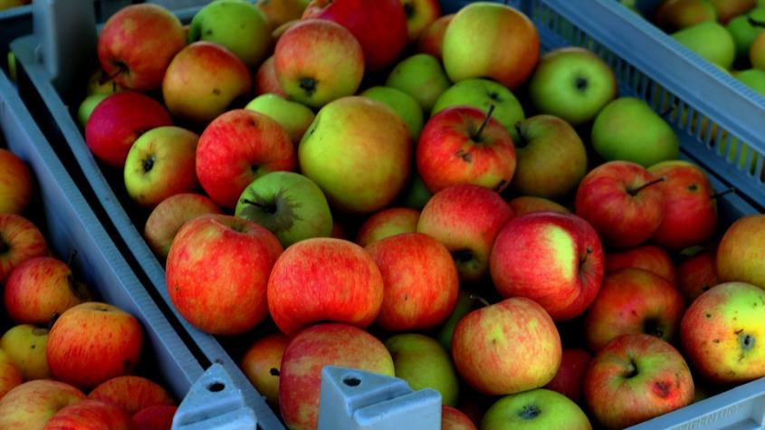 Začíná hlavní sezona moštování jablek