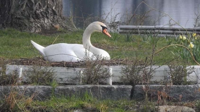 Labutě opět sídlí na Nováku, hnízdo si postavily na ostrůvku